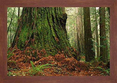 Coast Redwood Old-Growth Tree in Forest, Pacific Coast, North America by Gerry Ellis - 12