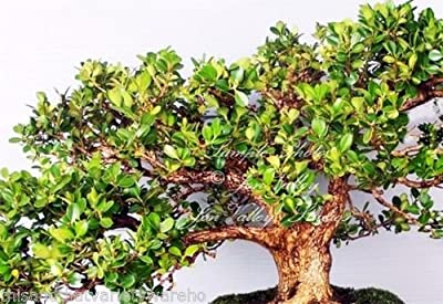 Quercus virginiana Live Oak Tree Seeds Bonsai -Standard Aged Look Fast Grower