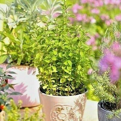 Toyensnow - Italian Oregano Seeds Organic Italian Herb Grow Indoors/Out Container/Garden (500+ Seeds) : Garden & Outdoor