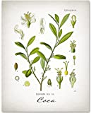 coca leaf extract - Coca Plant - 11x14 Unframed Art Print