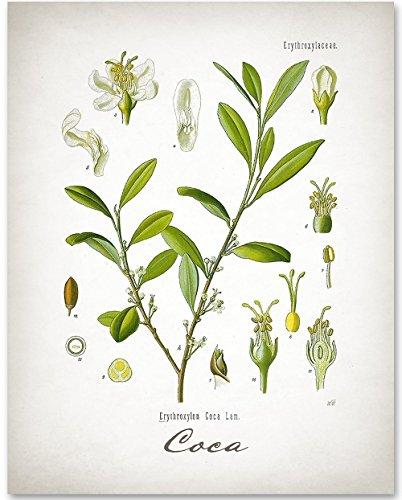 - Coca Plant - 11x14 Unframed Art Print