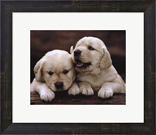 Golden Retriever Puppy Framed - Golden Retriever Puppies Framed Art Print Wall Picture, Espresso Brown Frame, 16 x 14 inches
