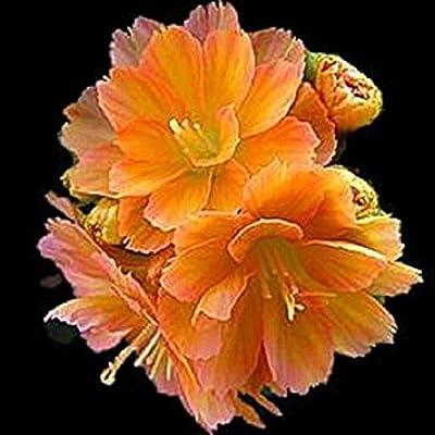 20 Lewisia cotyledon 'praline'. wide orange Color range, GREAT In Containers : Garden & Outdoor