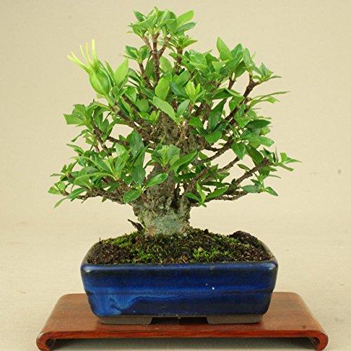 いよじ園 クチナシ -小葉性- 小品盆栽 (いよじ園) B074K2WKNH