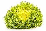 Curly Endive Yellow heart vitaminic Seeds organic from Ukraine 0.5 gram