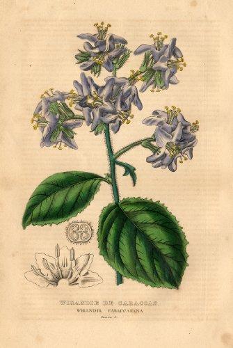 antique-botanical-print-caracus-wigandia-drapiez-1853