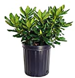 Green Promise Farms Rhododendron Yak. Miyama 'Gold Prinz' (Rhododendron) Evergreen, Antique Mango Flowers, 2 - Size Container