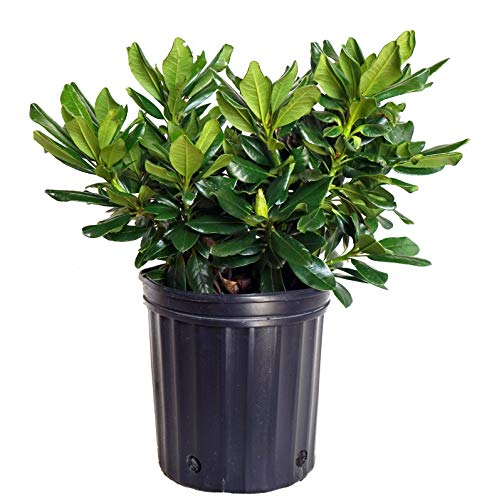 Green Promise Farms Rhododendron Yak. Miyama 'Gold Prinz' (Rhododendron) Evergreen, Antique Mango Flowers, 2 - Size Container by Green Promise Farms