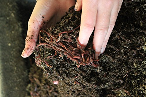 Red-Wiggler-Live-Composting-Worms-1000-Count