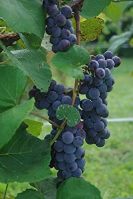 Concord Seeded Grapevines-purple Seeded Grapes-2yr Old Healthy Bare Root Plants-3 pk with Bonus