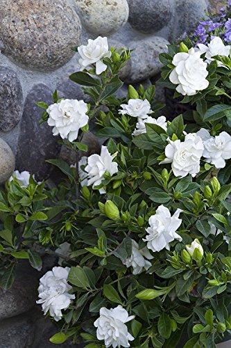 Gardenia Mystery Qty 30 Live Plants Flowering Shrub by Gardenia Mystery (Image #3)