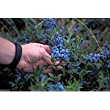 100 Seeds Lowbush Blueberry Seeds, Vaccinium Angustifolium, Fruit Is High in Antioxidants ! by wbut2023