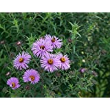500 Seeds of Symphyotrichum novae-angliae, New England Aster, Hairy Michaelmas-Daisy, Michaelmas Daisy