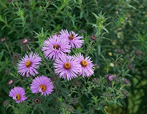 500 Seeds of Symphyotrichum novae-angliae, New England Aster, Hairy Michaelmas-Daisy, Michaelmas ()