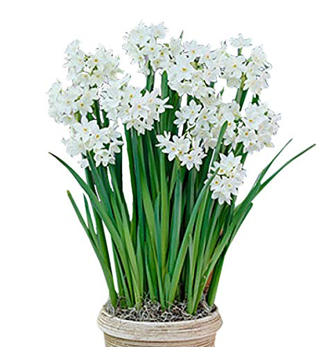 5 Fresh Ziva Paperwhite Narcissus Bulbs - TOP Size 17 - White Narcissus Paper