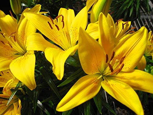 - Lily Bulbs - 4 Yellow Oriental Lily Bulbs Cutting Flowers Outstanding Fragrant Perennial Garden Bonsai