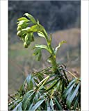 Media Storehouse 10x8 Print of Stinking Hellebore or Dungwort (Helleborus foetidus), Germany, Europe (12552735)