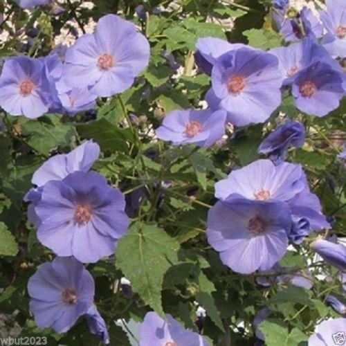 10 Abutilon Seeds-ABUTILON vitifolium Indian Mallow,Flowering Maple,Fast Growing SVI