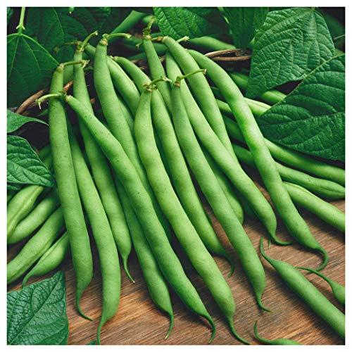 Everwilde Farms - 1 Lb Blue Lake Bush Green Bean Seeds - Gold Vault