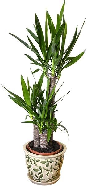 Plante D Interieur Plante Pour La Maison Ou Le Bureau Yucca Elephantipes Yucca Sans Epines Hauteur D Environ 80 Cm Amazon Fr Jardin
