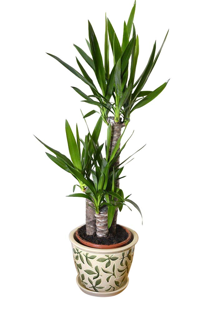 Indoor, House or Office Plant -Yucca elephantipes - Spineless Yucca Approx 80cm Tall Olive Grove