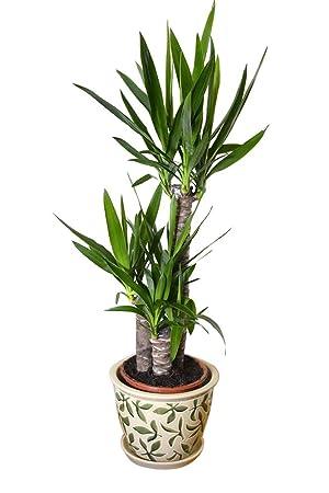 Hervorragend Indoor, House or Office Plant -Yucca elephantipes - Spineless MA58