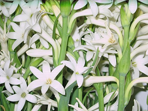 6 Bloom size bulbs FRAGRANT Polianthus Tuberose single Mexican