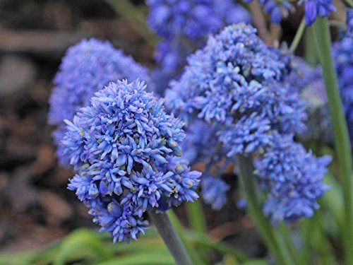 Muscari Blue Spike - Grape Hyacinth Blue Spike - 10 Bulbs -