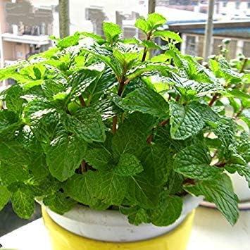 Zoomy Far 30 semillas/paquete de Stevia Rebaudiana de semillas ...