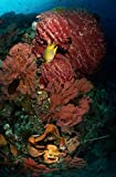 Posterazzi Poster Print Collection Reef Sponge Coral and Yellow Fish North Sulawesi Indonesia Mathieu Meur/Stocktrek Images, (11 x 17), Multicolored