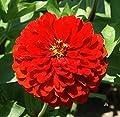 David's Garden Seeds Flower Zinnia Scarlet Flame SL8831 (Red) 500 Open Pollinated Seeds