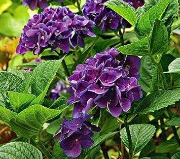 semillas de hortensia doble venta de semillas pcs planter bonsai jardn de flores planta de