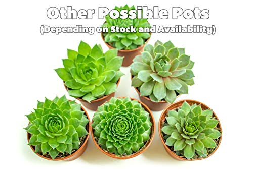 Fractal Succulents (5 Pack) Live Sempervivum Houseleek Succulent Rooted in Pots | Flowering Plant Leaves / Geometric Rosettes by Plants for Pets by Plants for Pets (Image #2)