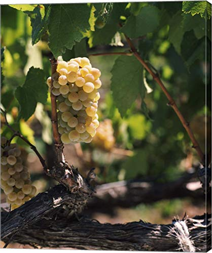 Carneros Chardonnay - Chardonnay Grapes in Vineyard, Carneros Region, California by Panoramic Images Canvas Art Wall Picture, Gallery Wrap, 39 x 48 inches