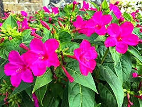 Berserker Kleinen Garten Bonsai 50 Samen//Pack Rosa Statice Blume Orquideas Pflanzensamen J/ährliche Gro/ße Geschenk