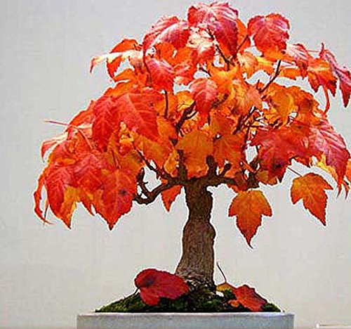 AMUR MAPLE - ACER GINNALA - JAPANESE BONSAI TREE SEEDS - Leaves Turn From Green To Red - By MySeeds.Co (Amur Maple x 1 Pack) (Tree Amur Maple)