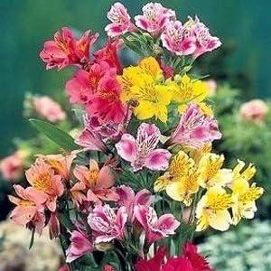 Amazon Com 25 Alstroemeria Peruvian Lily Mix Flower Seeds Perennial Garden Outdoor