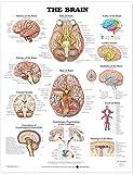 The Brain Anatomical Chart