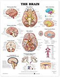 Amazon Price History for:The Brain Anatomical Chart