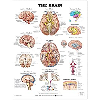 The-Brain-Anatomical-Chart