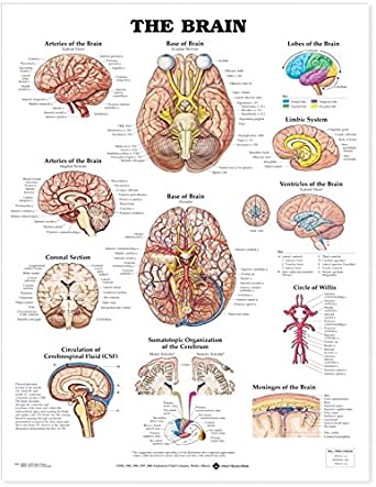 The Brain Anatomical Chart Company Amazon Business