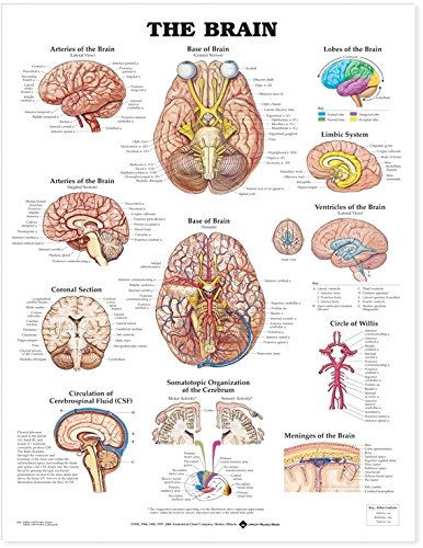 The Brain: Anatomical Chart Company: Amazon.co.uk: Business ...