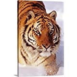 John Hyde Premium Thick-Wrap Canvas Wall Art Print Entitled Alaska, Siberian Tiger (Panthera Tigris Altaica) Stalking Prey in Deep Winter Snow