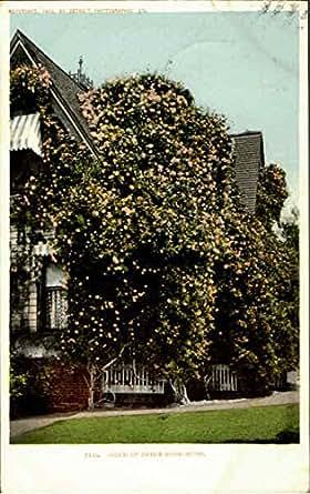 Gold Of Ophir Rose-Bush Flowers Original Vintage Postcard