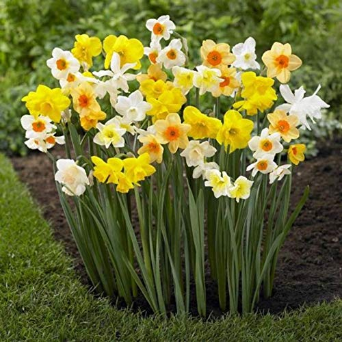 Daffodil Bulbs - Narcissus Assorted,Long Lasting~Trumpet Daffodil Mix Bulb-Fall Planting (25 Bulbs) by AchmadAnam