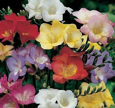 Summer Blooming Bulbs - 10 Freesia Mix Flower Bulbs Perennials Late Summer Blooming Plant