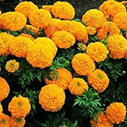 Zoomy Far: MARI F-2 Orange Dwarf Double Flower Seeds (AVG 50-100) Seeds X 6 Packet