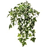 Variegated Holyand Ivy Hanging Vine, Outdoor Rated
