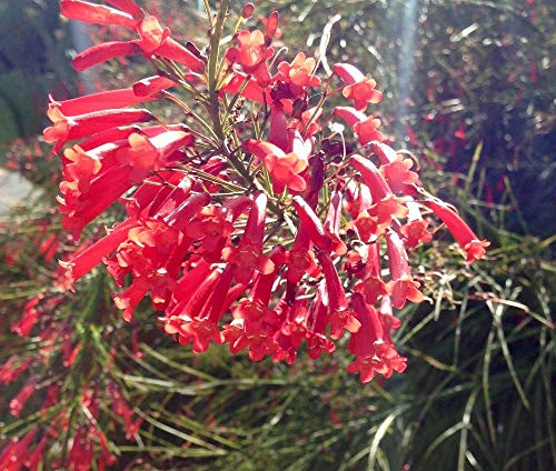 (4 Russelia equisetiformis 'Red' Firecracker, Fountain Plant Live Starter Plant TkSouthern)