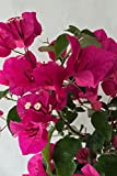 Barbara Karst Red, Bougainvillea Plant (flowers, hanging basket, bush, trellis, patio tree, vine) (5 Gal Trellis)